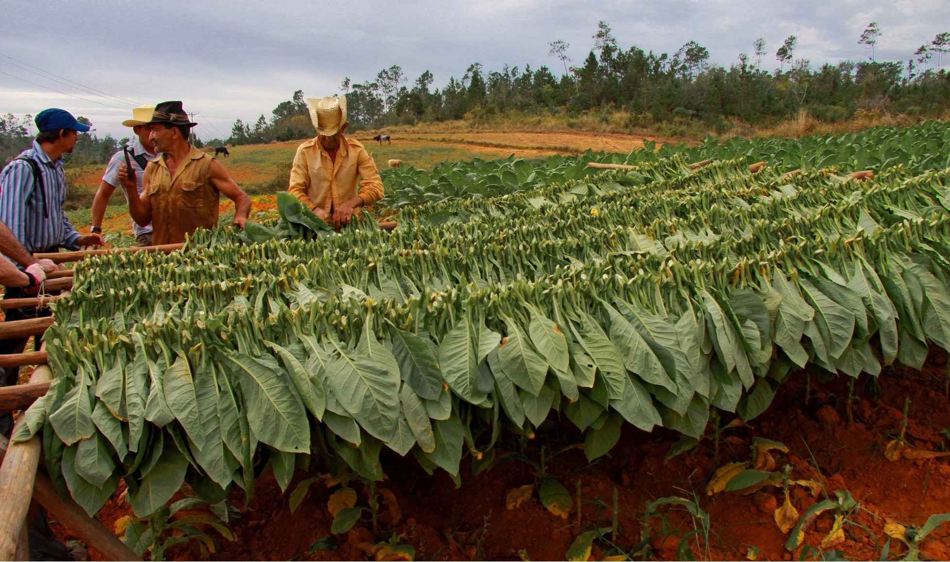 Tobacco growers