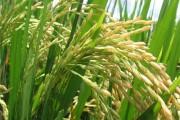 arroz_trans_china1